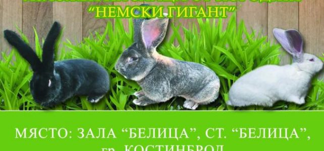 """Изложба в град Костинброд на зайци порода """"Немски гигант"""""""