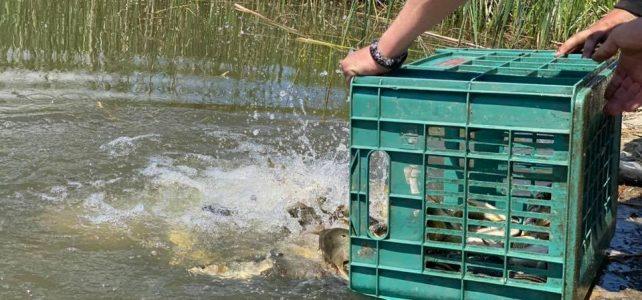 "Днес бяха пуснати 1500 броя риби от вида шаран в язовир ""Маслово"", гр. Костинброд"